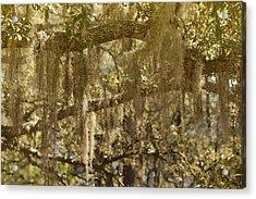 Spanish Moss On Live Oaks Acrylic Print