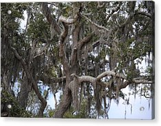 Spanish Moss On Live Oaks Acrylic Print