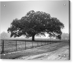 Spanish Oak Black And White Acrylic Print