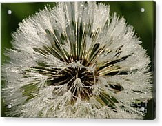 Sparkling Dandelion Acrylic Print by Tayt Dame