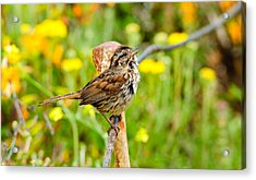Sparrow Acrylic Print by Donald Fink