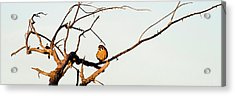 Sparrow Hawk Perching On Bare Tree Acrylic Print