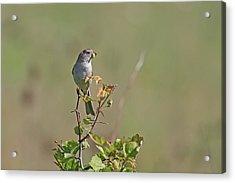 Sparrow Acrylic Print by Jim Nelson