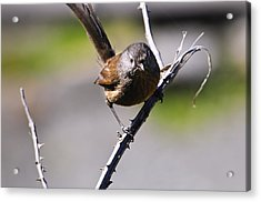 Sparrow On A Branch Acrylic Print