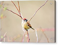 Sparrow On Branch  Acrylic Print by Tommytechno Sweden