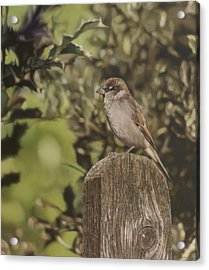 Sparrow On Fence Acrylic Print by Alberto Ponno