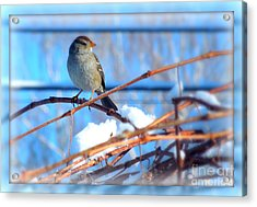 Acrylic Print featuring the photograph Sparrow On Grapevine by Heidi Manly