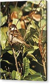 Sparrow On The Branch Acrylic Print by Alberto Ponno