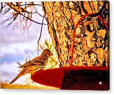 Sparrow Pine Tree Feeder Acrylic Print by Bob and Nadine Johnston