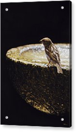 Sparrow With Fountain Acrylic Print by Alberto Ponno