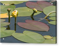Acrylic Print featuring the photograph Spatterdock Heart by Paul Rebmann