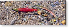 Acrylic Print featuring the photograph Spawning Pair by Jim Thompson
