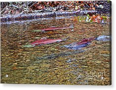 Spawning Sockeyes Acrylic Print by Alex Suescun