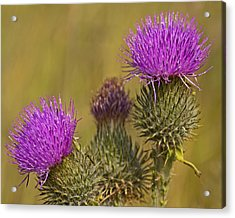 Spear Thistle Acrylic Print by Paul Scoullar