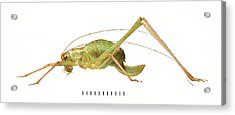 Speckled Bush Cricket Acrylic Print by Natural History Museum, London