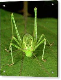 Speckled Bush Cricket Acrylic Print by Nigel Downer