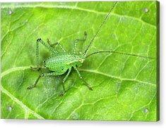 Speckled Bush Cricket Nymph Acrylic Print by Nigel Downer