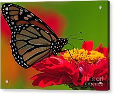 Acrylic Print featuring the photograph Speckled Monarch by Olivia Hardwicke