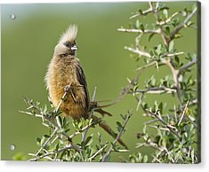 Speckled Mousebird Acrylic Print by Science Photo Library