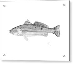 Speckled Trout - Scientific Acrylic Print