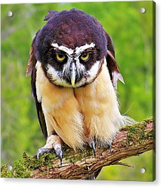 Spectacle Owl Acrylic Print