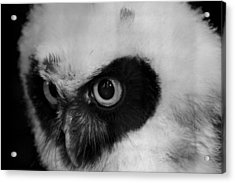 Spectacled Owl Acrylic Print by Simon Gregory