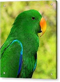 Spectacular Eclectus Parrot Acrylic Print