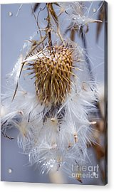Spent Thistle Acrylic Print by Adria Trail
