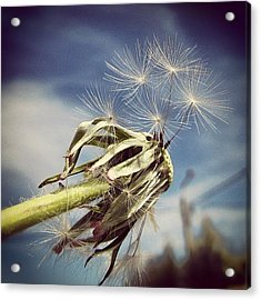 Spent Wishes... Acrylic Print by Marianna Mills