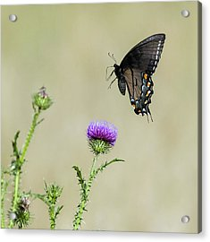 Spicebush Swallowtail 1 Acrylic Print by David Lester
