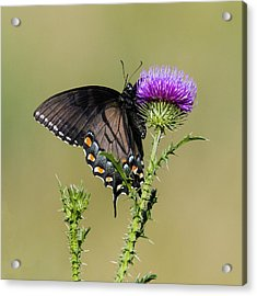 Spicebush Swallowtail 3 Acrylic Print by David Lester