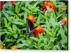 Spicebush Swallowtail Acrylic Print by Angela DeFrias