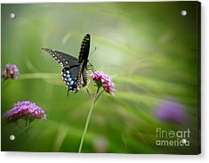 Spicebush Swallowtail Butterfly Acrylic Print