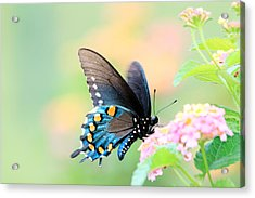 Spicebush Swallowtail Butterfly Acrylic Print by Lorri Crossno