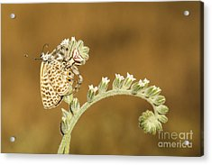 Spider Feeds On A Butterfly 3  Acrylic Print by Alon Meir