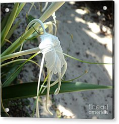 Acrylic Print featuring the photograph Spider Lily2 by Megan Dirsa-DuBois