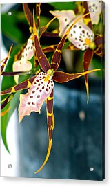 Acrylic Print featuring the photograph Spider Orchid by Lehua Pekelo-Stearns
