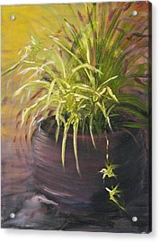 Spider Plant Acrylic Print by Sherry Robinson