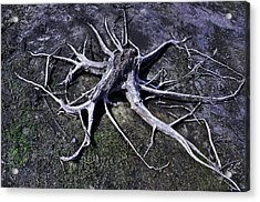 Acrylic Print featuring the photograph Spider Roots At Manasquan Reservoir by Gary Slawsky