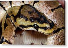 Spider Royal Python Acrylic Print