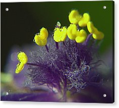 Spiderwort Bubbles Acrylic Print