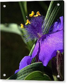 Spiderwort Shadows Acrylic Print by Suzy Piatt