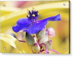 Spiderwort (tradescantia Andersoniana) Acrylic Print by Sam K Tran/science Photo Library