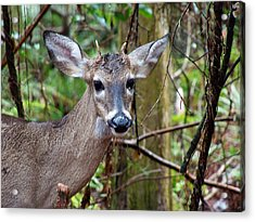 Spike Buck Whitetail Portrait Acrylic Print