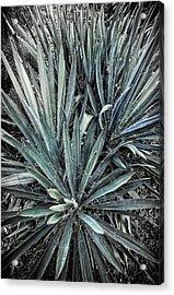 Spiky Blue-green Plant Acrylic Print