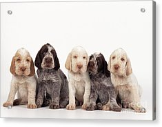 Spinone Puppy Dogs Acrylic Print