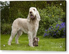 Spinone With Mini Dachshund Acrylic Print