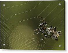 Spiny Backed Orb Weaver Acrylic Print