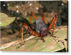 Spiny Lobster Katydid Acrylic Print by Dr Morley Read