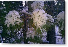 Spiny Snow Balls Acrylic Print by Chris Tarpening